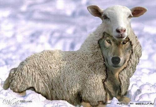 Wolf-sheep_12