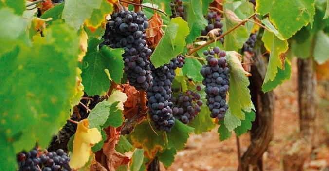 peloponnese-vinyard-4-770x400
