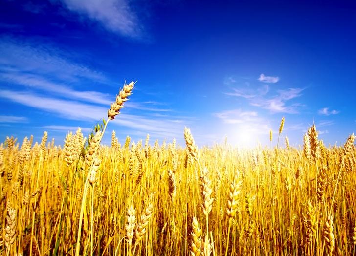 golden-wheat-field