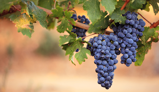 Close-up of large bunches of red wine grapes on the vine, with warm blurred background and copy space.