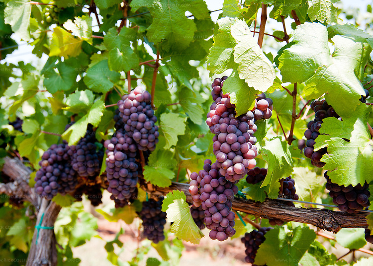 Red Grapes on the Vine (Pollak Vineyards)